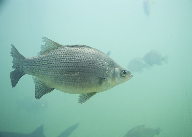 White bass in Provo River
